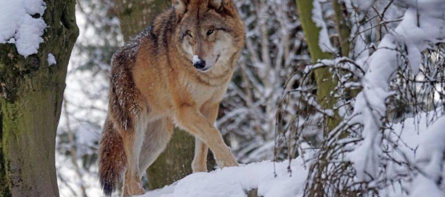 Охотники Клепиковского района отстреливают размножившихся волков