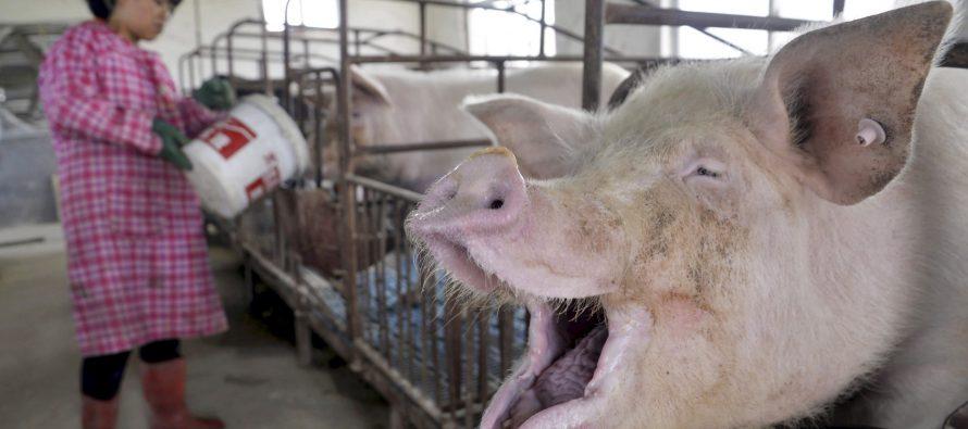 Huawei займется созданием новых технологий для свиноводства