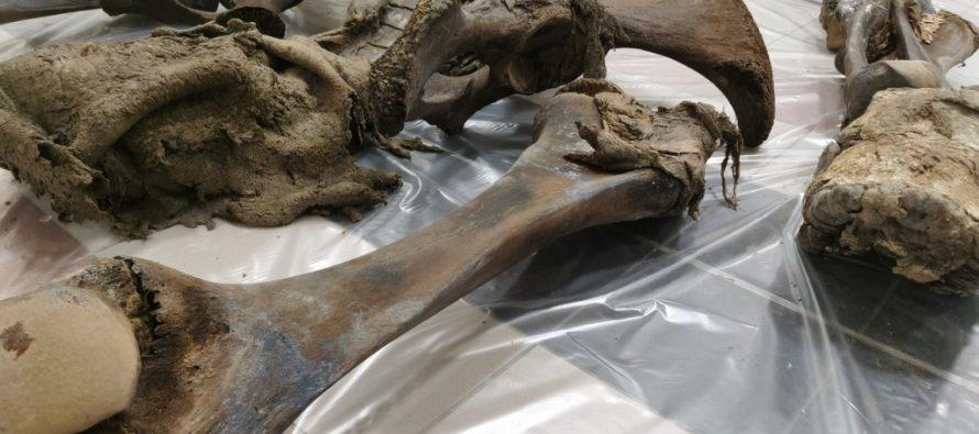 О жизни ямальского мамонта Тадибе расскажут пробы его останков