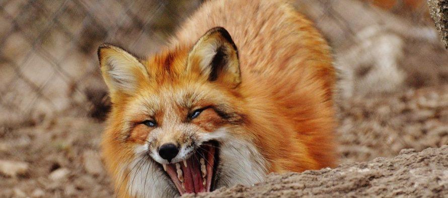 Дикая лиса набросилась на 12-летнего рязанца