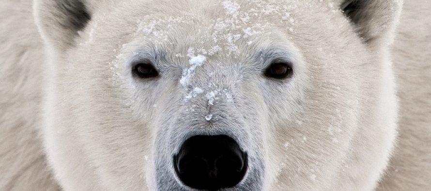 Китайские СМИ назвали РФ огромным «полярным медведем», опасным длязападных стран