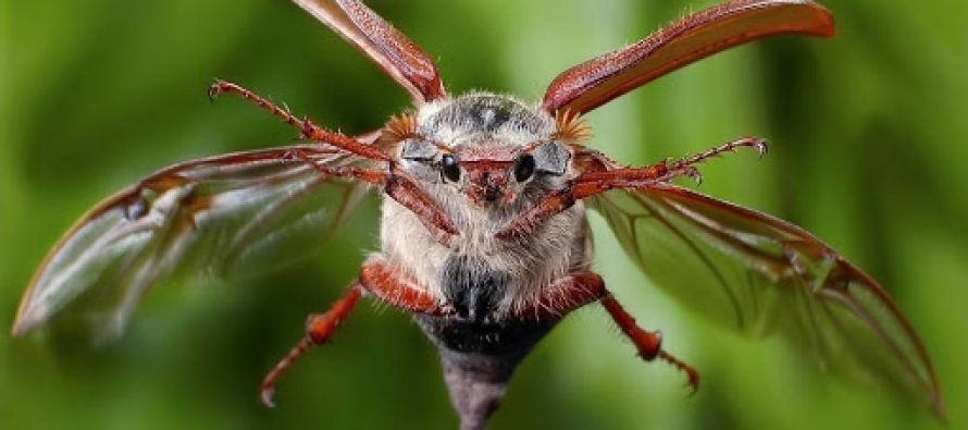 В Рязанской области наблюдается нашествие майских жуков