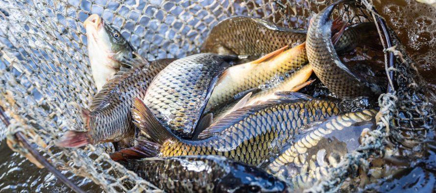 В Сараевском районе проверили рыбу и посадочный материал на наличие паразитов и инфекций