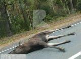 В Клепиковском районе автомобиль Land Rover Freelander насмерть сбил лося